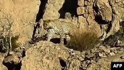 بلوچستان میں جنگلی حیات سے متعلق محکمے کے اعلیٰ افسر شریف الدین بلوچ کا کہنا ہے کہ چھ ماہ قبل یہ جوڑا 'ہزار گنجی وائلڈ لائف پارک' میں دیکھا گیا تھا۔