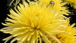 In the Garden: Getting the Most Out of Mums