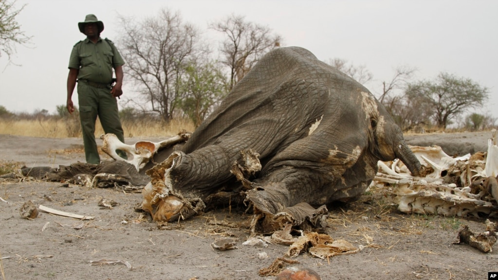 FILE - A game ranger stands next to a rotting elephant carcass poisoned by poachers with cyanide in Hwange National Park in Zimbabawe, Sept. 29, 2013.