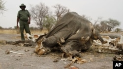 FILE - a game ranger stands next to a rotting elephant carcass poisoned by poachers with cyanide in Hwange National Park in Zimbabawe, Sept. 29, 2013. Hundreds of vultures in Namibia died after feeding on an elephant carcass that poachers had poisoned.