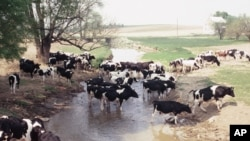 Some farmers allow cows to pollute streams and erode stream banks