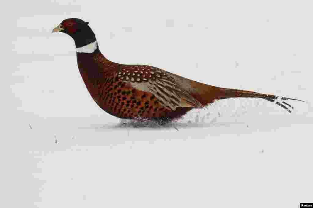2019年1月23日,冬季,法国,一只野鸡(pheasant)在尼尔尼斯的雪地奔跑。