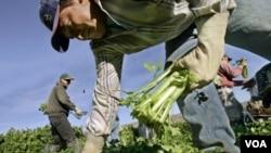 Entre los trabajadores eximidos por la ley están los jornaleros agrícolas.