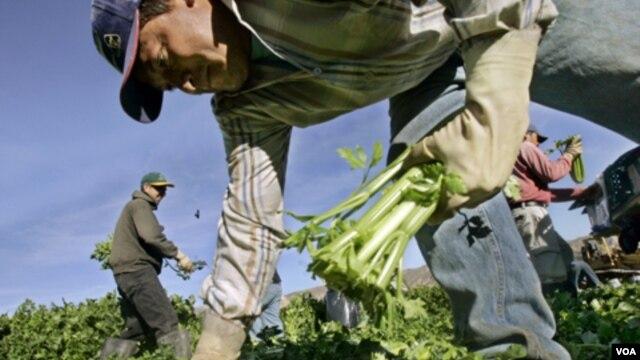 Los jornaleros agrícolas podrían acceder a la residencia permanente en menos tiempo.