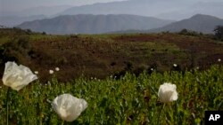 Những cây thuốc phiện được trồng phổ biến trên đồi dốc ở Myanmar.