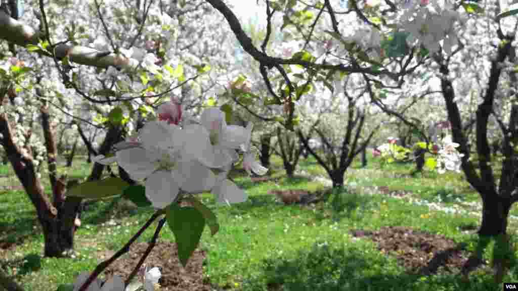 شکوفههای سیب، مهاباد، روستای اگریقاش عکس: لقمان چاوشینی (ارسالی شما)
