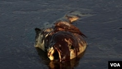 Bangkai ikan berlapis minyak ditemukan di pantai dekat pulau East Grand Terre, Louisiana. Bencana tumpahan minyak di Teluk Meksiko adalah yang terbesar sepanjang sejarah Amerika. Muncul kekhawatiran bencana ini akan berdampak serius pada kesehatan masyar