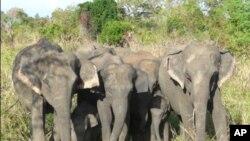 Tembo wanazidi kuuwawa barani Afrika kutokana na kuongezeka kwa biashara ya pembe nchini China