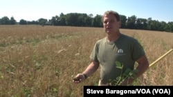 Trey Hill uses conservation methods on his Maryland farm. Here he shows soy beans growing in the what is left of another crop. (Credit: Steve Baragona/VOA)