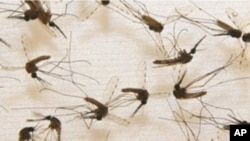 Researchers have genetically engineered mosquitoes to boost their immune system, thereby blocking transmission of the disease to humans.