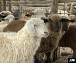 埃弗琳的羊群