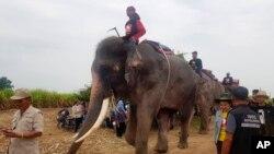 Empat pawang dan gajah mereka memulai operasi pencarian untuk bocah laki-laki Myanmar berusia dua tahun yang hilang, di Suphan Buri, Thailand, 23 Desember 2018. (Suphan Buri City via AP)