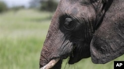 FILE - Among elephant herds, the matriarchs – older and experienced – provide leadership.