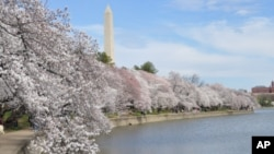 Cherry trees in bloom are see on the edge of the tidal basin in Washington
