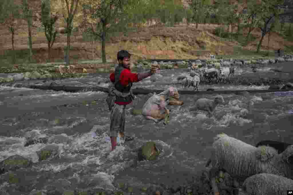 Seorang penggembala Kashmir melemparkan seekor kambing ke tepi sungai, setelah hampir terseret arus sungai di desa Harshan, utara Srinagar, Kashmir-India.
