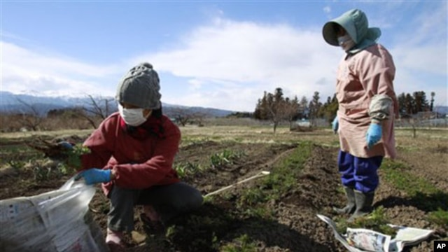 Farmer Sumiko Matsuno (l) and her friend, bag carrots on her far, as she fears no one will buy them with the current radiation fallout in Fukushima prefecture, Japan, March 24, 2011