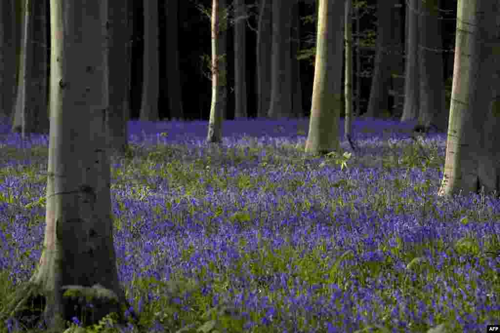 Bunga-bunga liar warna violet/biru lembayung (Bluebells) menghiasi kawasan hutan di Halle, Belgia.
