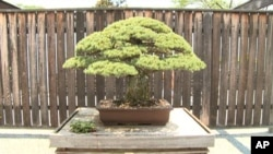 Bonsai tree in U.S. National Arboretum