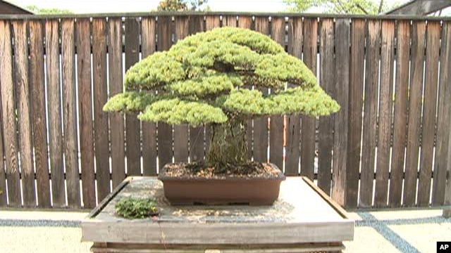 Bonsai tree in U.S. National Arboretum