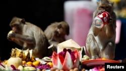 FILE - Long-tailed macaques drink and eat items offered to them during the annual Monkey Buffet Festival at the Pra Prang Sam Yot temple in Lopburi, 150km north of Bangkok, Nov. 27, 2011.