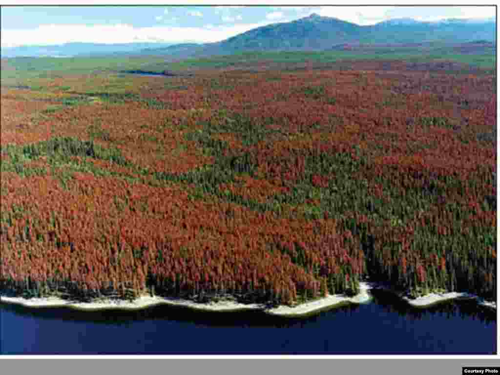 Bug infestations like the mountain pine beetle in this lodgepole pine forest in British Columbia, Canada may be in response to a changing climate. Photo credit: Northern Forest Products Association