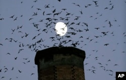 FILE - Scores of Vaux's Swifts come in for a landing with the moon in the background for an evening roost in the old, brick chimney at Chapman Elementary School in Portland, Ore., Tuesday, Sept. 13, 2016. (AP Photo/Don Ryan)