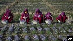 زنان هراتی مصروف زراعت زعفران