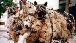 Những con chó bị nhốt lồng trên đường đưa tới các nhà hàng thịt chó ở Nhật Tân, một làng ngoại ô Hà Nội. Thành phố Hà Nội vừa đưa ra lời kêu gọi người dân ngừng ăn thịt chó.