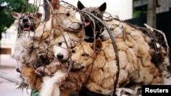 ہنوئی میں کتوں کو سلاٹر ہاؤس لے جایا جا رہا ہے۔ فائل فوٹو