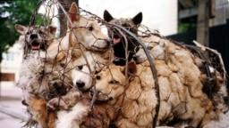 Ảnh tư liệu: Những con chó bị chở đi làm thịt ở làng Nhật Tân, Hà Nội, Việt Nam.