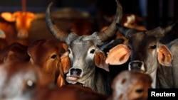 "FILE - Rescued cattle are seen at a ""goushala"", or cow shelter, run by Bharatiya Gou Rakshan Parishad, an arm of the Hindu nationalist group Vishwa Hindu Parishad (VHP), at Aangaon village in the western Indian state of Maharashtra."