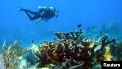FILE - A diver swims past a healthy colony of Caribbean elkhorn coral near Molasses Reef, Florida, in this handout taken on July 17, 2009.