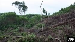 Rừng bản địa bị khai quang một cách nhanh chóng, với rễ cây bị đào xới đi, sườn đồi rất dễ bị sụp đổ