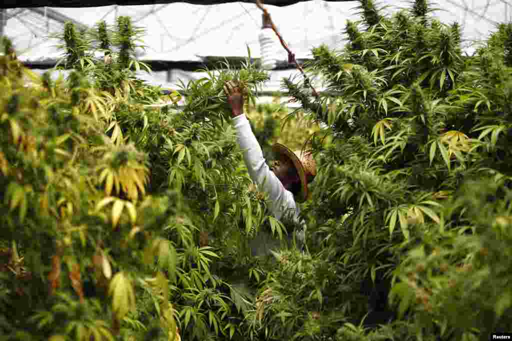 A worker harvests cannabis plants at a plantation near the northern town of Nazareth in Israel.
