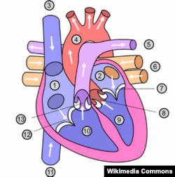 Hình vẽ minh họa tim người
