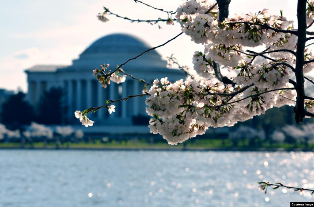 شکوفه های گیلاس در واشنگتن دی سی. بنای یادبود توماس جفرسون در پس زمینه ديده میشود - ۲۳ فروردين ۱۳۹۴ (۱۲ آوريل ۲۰۱۵)