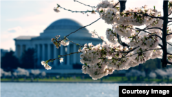 Cherry blossoms in Washington, D.C., with Thomas Jefferson Memorial in the backdrop, April 12, 2015. (photo taken by Diaa Bekheet)