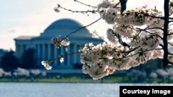 El Festival Nacional de los Cerezos en flor, es una celebración anual de primavera en Washington, D.C. que atrae visitantes de todo el mundo.