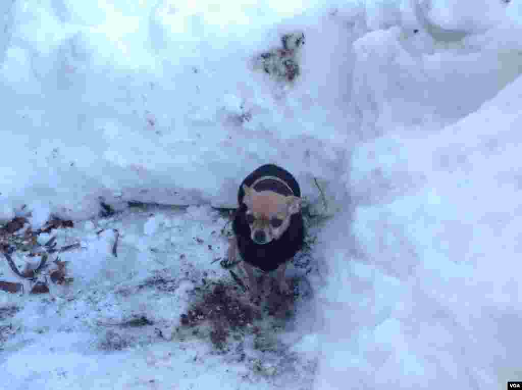 在雪地里给狗狗挖一个厕所(美国之音杨晨拍摄)