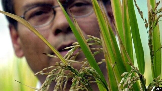 Khoa học gia Sophan Datta thuộc Viện Nghiên cứu lúa gạo Quốc tế (IRRI) hướng dẫn các nhà báo tham quan công trình nghiên cứu 'gạo vàng' của viện, 27/11/03