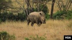 Seekor badak di taman nasional Nairobi di Kenya (foto: dok). Kenya akan menanam mikrocip pada setiap badak untuk menghindari perburuan liar.