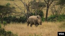 Seekor badak di taman nasional di Kenya (foto: dok). Kenya memasang transponder ke tubuh badak untuk memudahkan pelacakan.