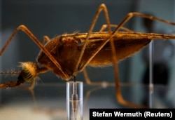 Seorang pria berjalan di belakang model nyamuk Anopheles di Pusat Darwin yang baru di Museum Sejarah Alam, di London, 8 September 2009. (Foto: REUTERS/Stefan Wermuth)
