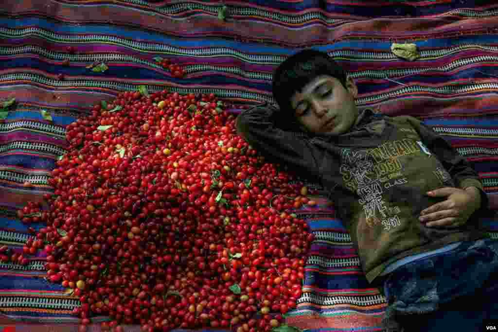 برداشت زغال اخته در کلیبر - آذربایجان شرقی عکس: پرویز گلی زاده خبرگزاری میزان