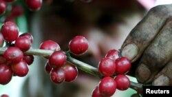 Cây cà phê với hạt chín đỏ trong một đồn điền