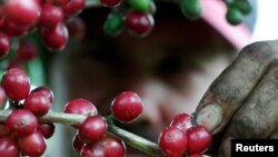 FILE - Red ripe coffee beans bloom on a plantation