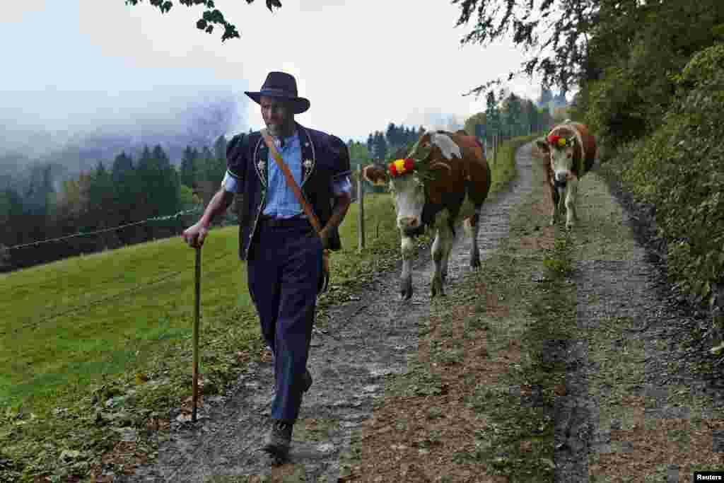 پنیر کے لیے دودھ کا ذریعہ میورتھ خاندان کی اپنی پالی ہوئی گائیں ہیں۔