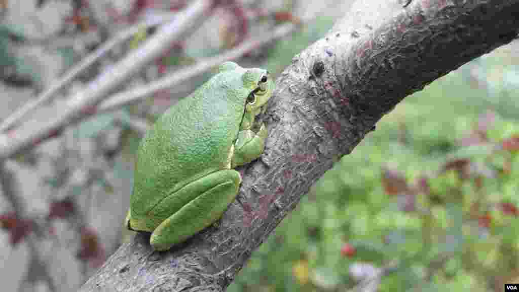 قورباغه درختی عکس: موسی (ارسالی شما)
