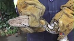 Snakes on a Plain: Bangkok's Python Problem