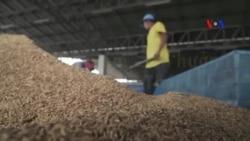 Giá gạo giảm, ảnh hưởng tới nông dân Thái Lan